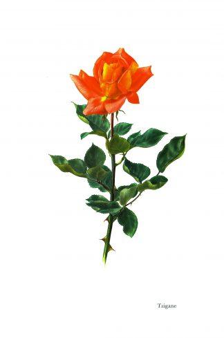 Original Roses