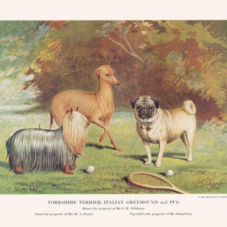 BG 08 Yorkshire Terrier etc
